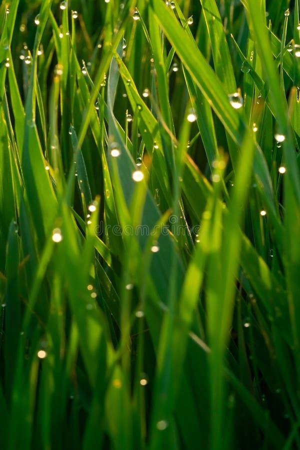 Grünes Gras mit Tautropfen bei Sonnenaufgang im Frühjahr vor dem hintergrund des Sonnenlichts Sch?nheit der Natur Nahaufnahme Sch stockbild