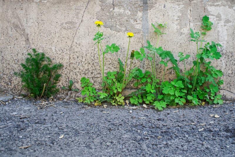 Grünes Gras und gelber Löwenzahn wächst durch den Asphalt vom Keller, nahe der Wand eines alten Backsteinhauses lizenzfreie stockfotos