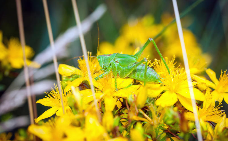 Grünes grashopper lizenzfreies stockbild