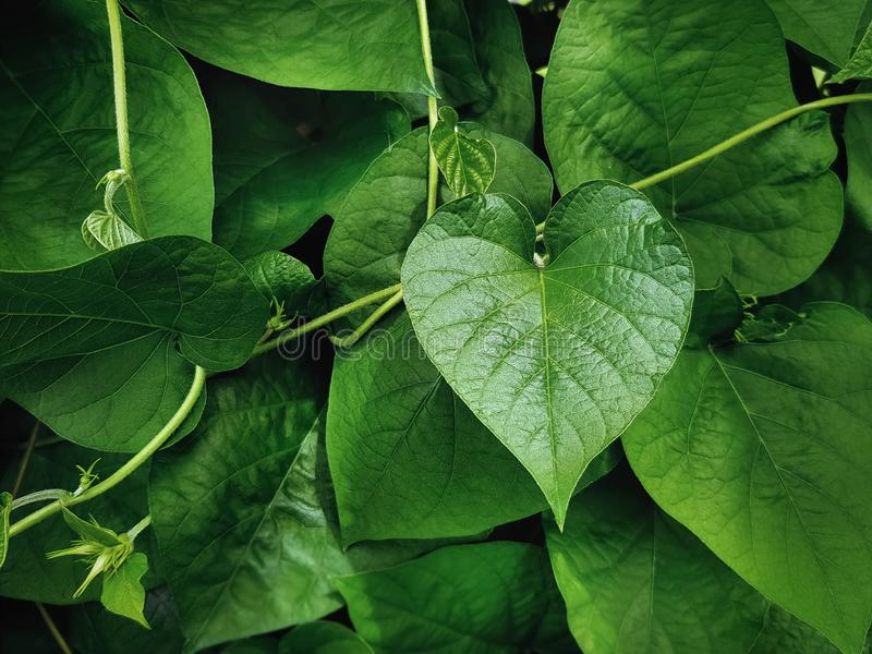 Grünes Herz-Form-Blatt der Kletterpflanze lizenzfreies stockbild