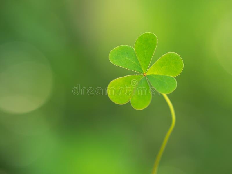 Grünes Kleeblatt auf grünem Hintergrund St- Patrick` s Tag Bedeutet Hoffnung, Glauben, Liebe und Glück stockfotos