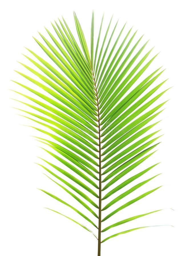 Grünes Kokosnussblatt lokalisiert lizenzfreies stockfoto