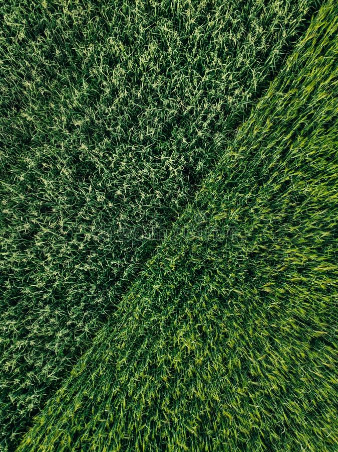 Grünes Landfeld des Weizens mit Reihe zeichnet, Draufsicht, Luftfoto stockfoto
