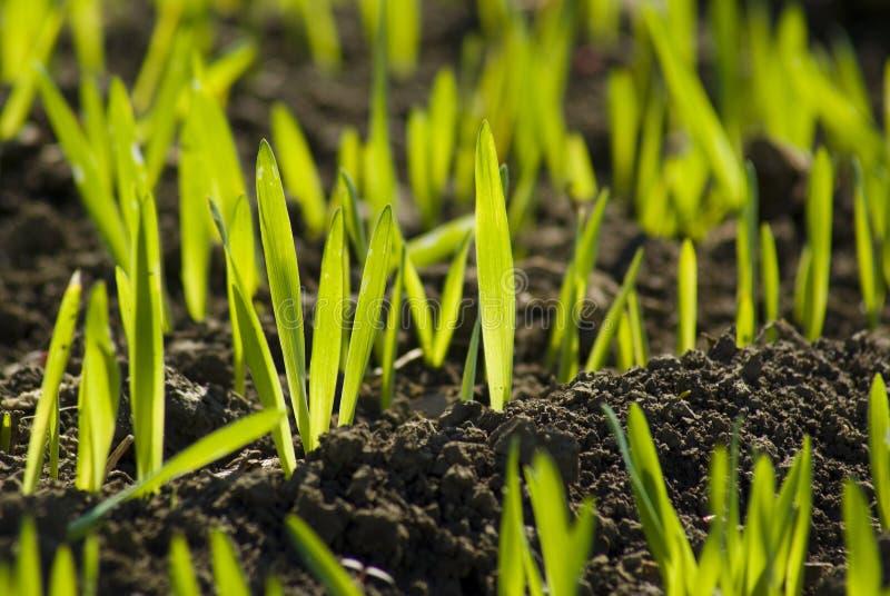 Grünes Landwirtfeld mit dem Kornwachsen stockbild