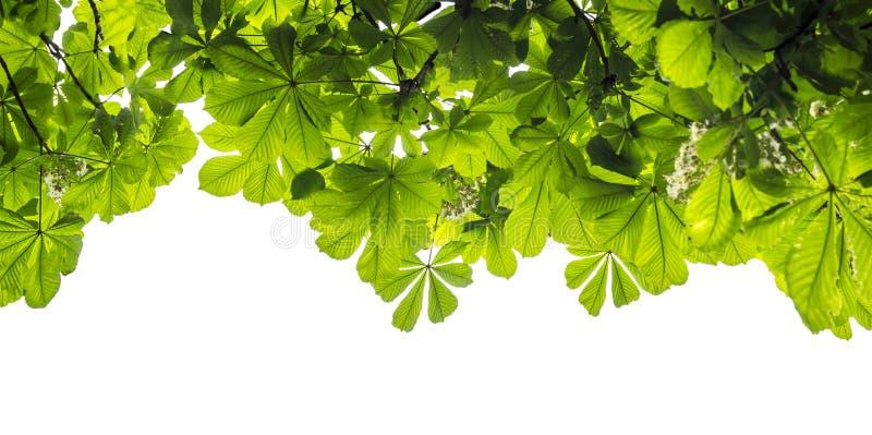 Grünes Laub des Kastanienbaums lokalisiert auf weißem Hintergrund lizenzfreies stockfoto