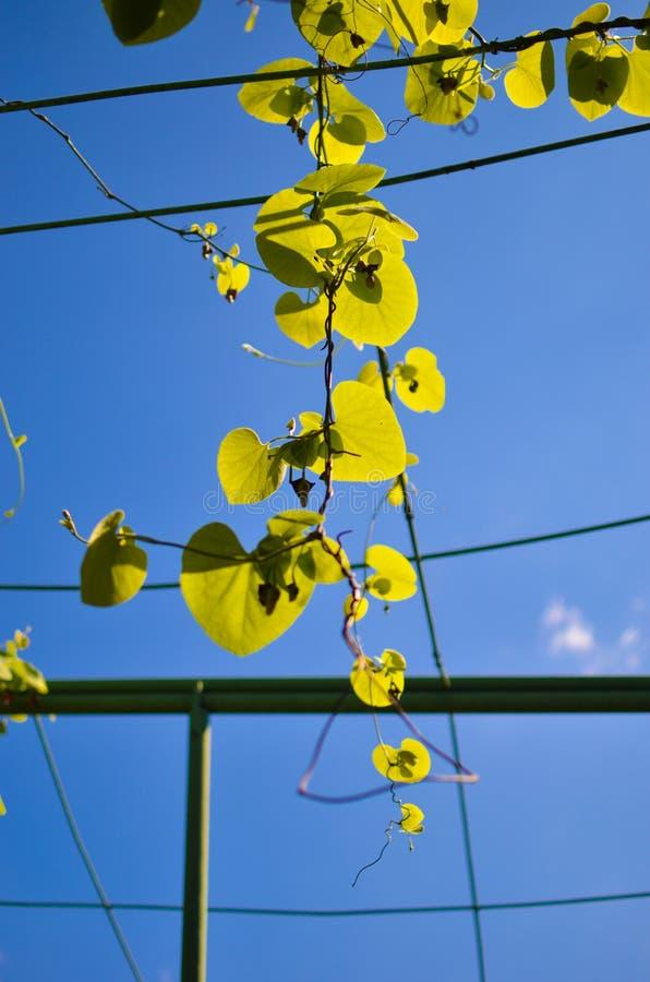 Grünes Laub von Aristolochia macrophylla oder pipevin auf dem Himmel stockfotografie