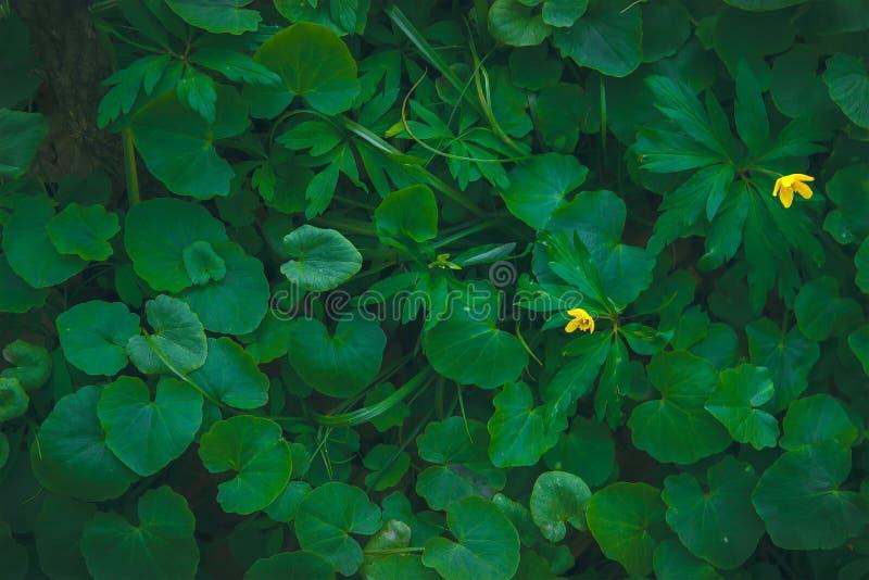 Grünes Laub von den Anlagen des wilden Ingwers, Asarum europaeum stockfotos