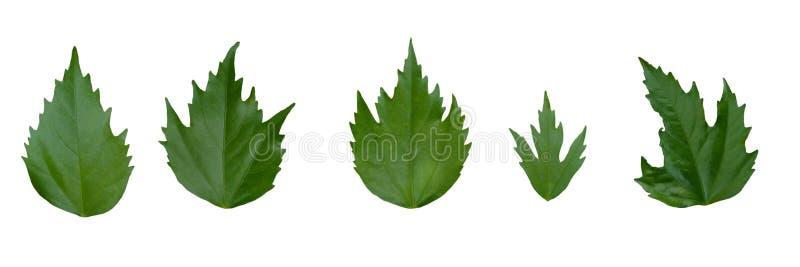 Grünes links des Hibiscus auf weißem Hintergrund vektor abbildung