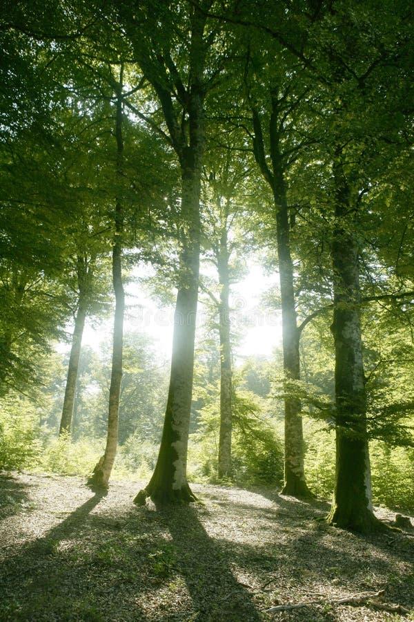 Grünes magisches Holz der Buche Wald stockbilder
