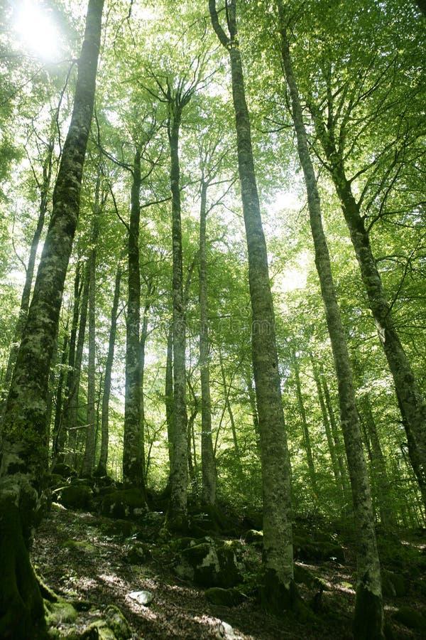 Grünes magisches Holz der Buche Wald stockfotos