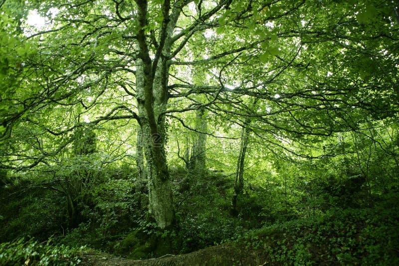 Grünes magisches Holz der Buche Wald lizenzfreie stockfotos