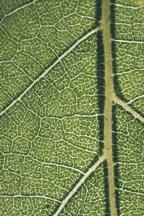 grünes Makrobild der Blatttransparenz - Retro- Blick der Weinlese stockbilder