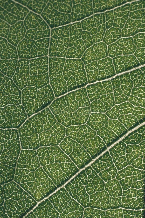 grünes Makrobild der Blatttransparenz - Retro- Blick der Weinlese lizenzfreie stockfotografie