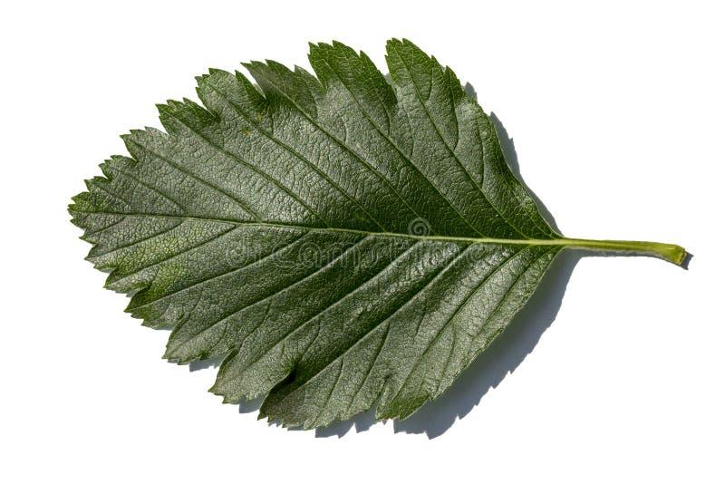 Grünes Maulbeerblatt lokalisiert auf weißem Hintergrund lizenzfreies stockbild