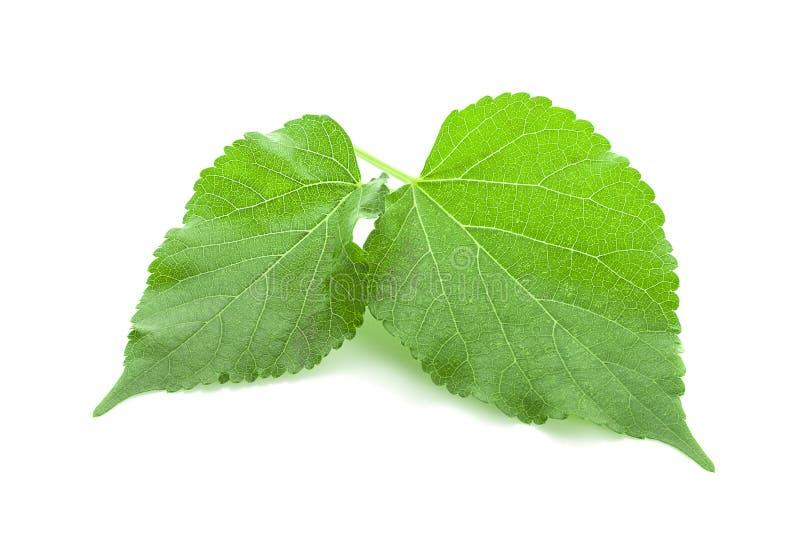 Grünes Maulbeerblatt lokalisiert auf weißem Hintergrund stockfotografie