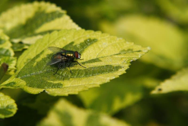 Grünes metallisches der Fliege stockfoto