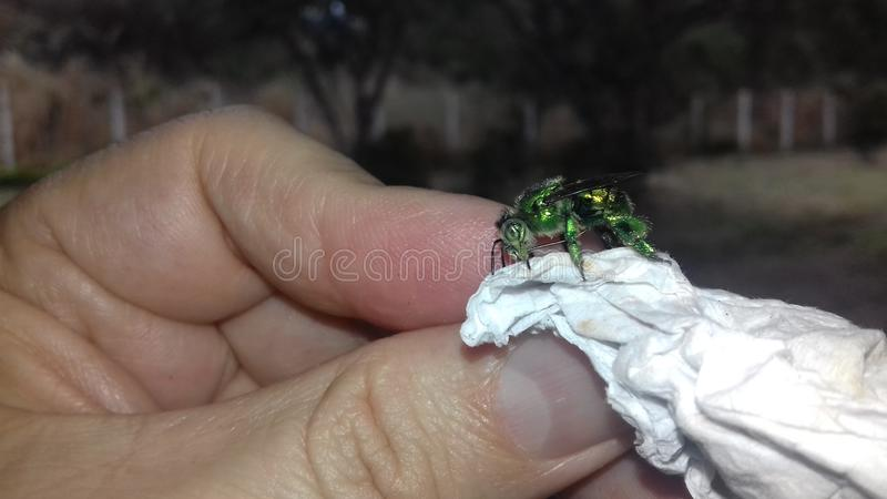 Grünes metallisches des Insekts stockfotos