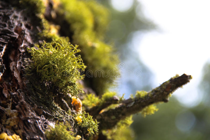 Grünes Moos auf Baum-Stamm 2 stockfoto
