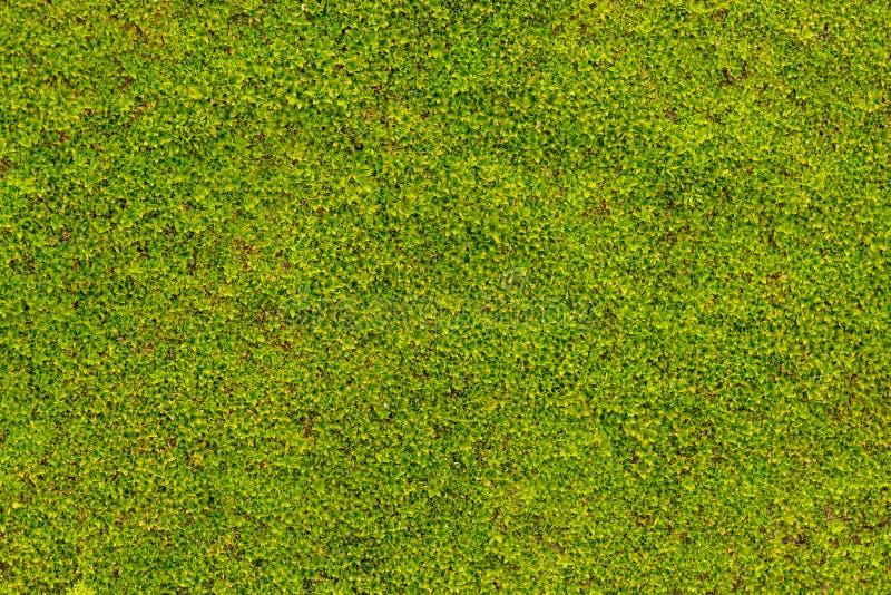 Grünes Moos auf Betonmauerbeschaffenheit, Hintergrund lizenzfreies stockfoto