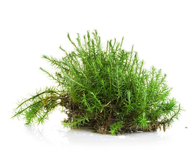 Grünes Moos lokalisiert auf Weiß stockfotos