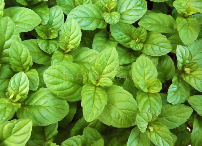 Grünes neues gesundes Minzen-Blatt-natürlicher Hintergrund-Muster lizenzfreies stockfoto