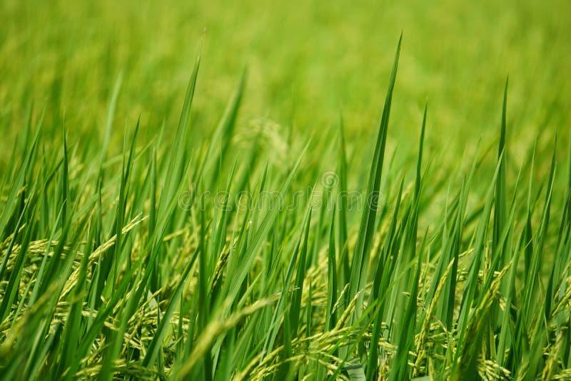Grünes neues Reis field†‹ lizenzfreies stockbild