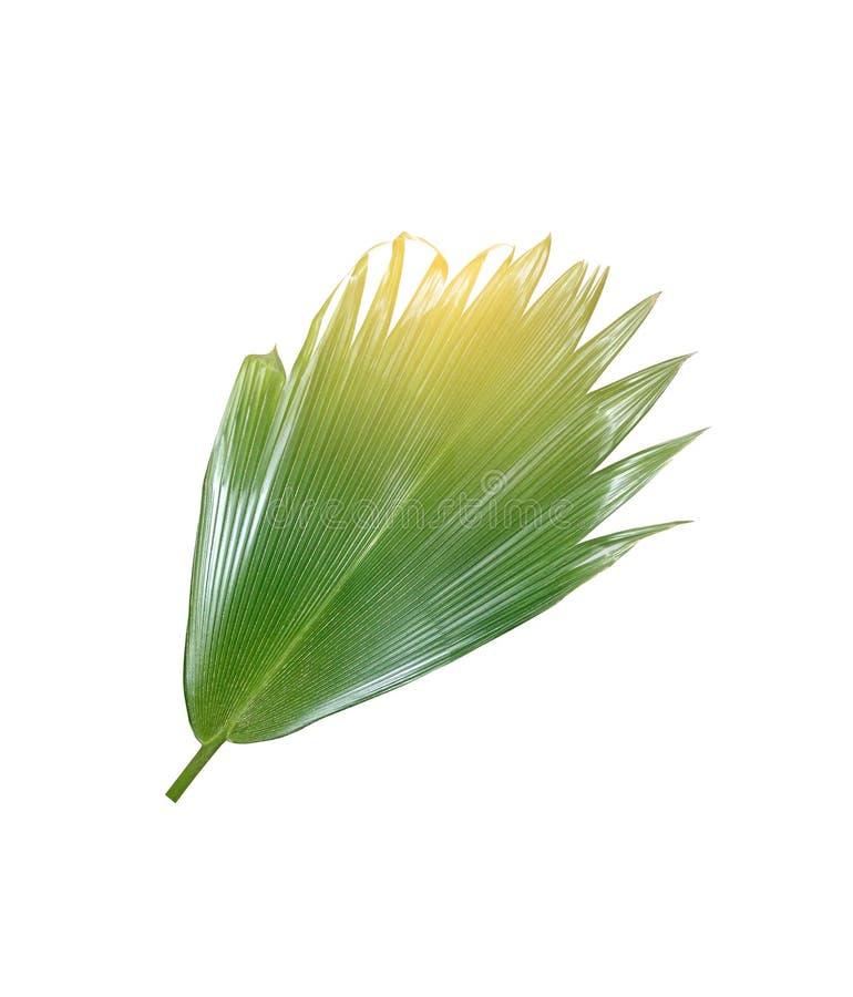 Grünes Palmblatt auf weißem Hintergrund stockbild