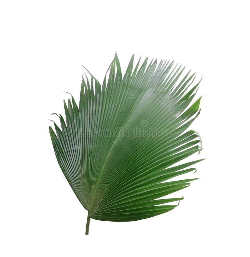 Grünes Palmblatt auf weißem Hintergrund stockfoto