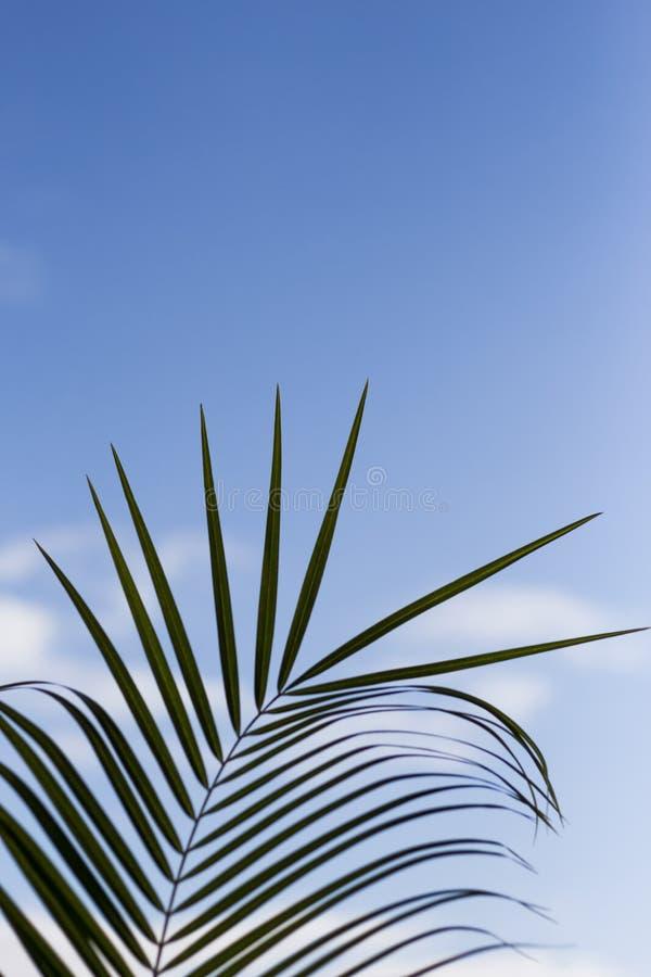 Grünes Palmblatt gegen einen sonnigen blauen Himmel stockfotos