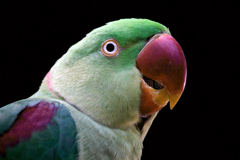 Grünes Parrot-1 lizenzfreie stockfotos