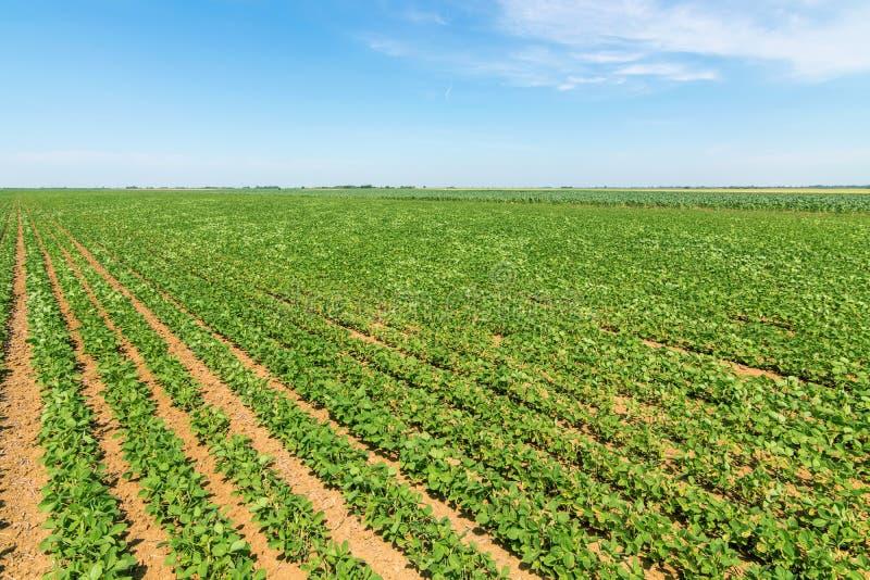 Grünes reifendes Sojabohnenfeld Reihen von grünen Sojabohnen Sojabohnenöl planta lizenzfreies stockbild