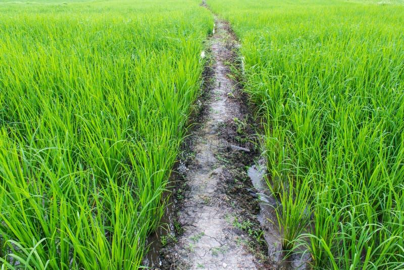 Grünes Reis-Feld in Thailand, Asien stockfotos