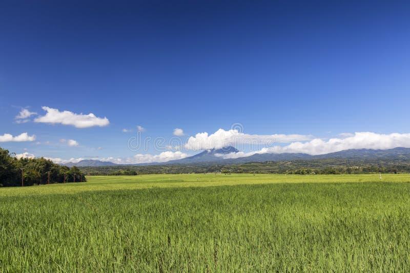 Grünes Reis Feld und Ebulobo lizenzfreies stockbild