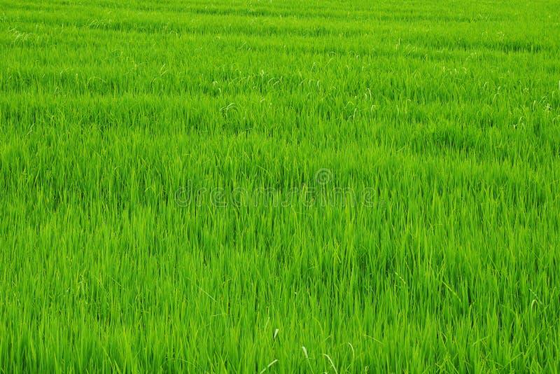 Grünes Reisfeld stockfotos