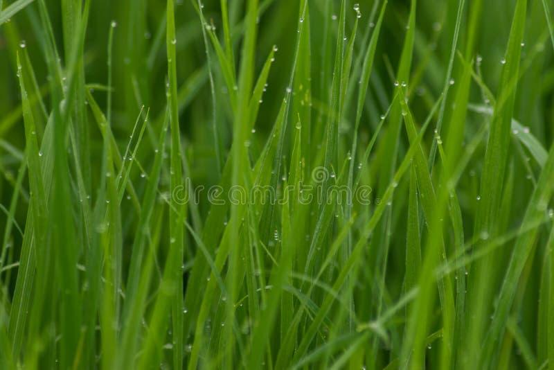 Grünes Reisfeld mit dem grünen Morgentau, der wartet geerntet zu werden stockfoto