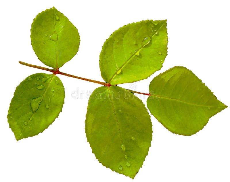 Grünes Rosenblatt lokalisiert auf weißem Hintergrund stockfotografie