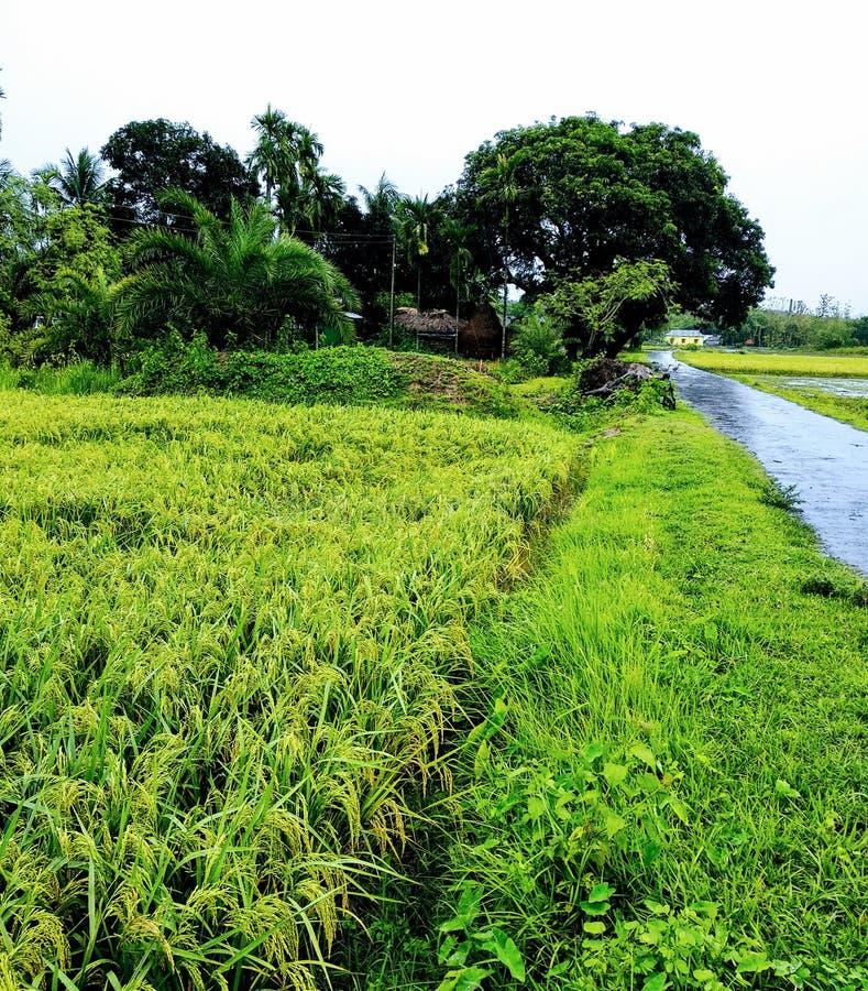 Grünes schönes natürliches Reisfeld von regnerischen Tagen stockfotos