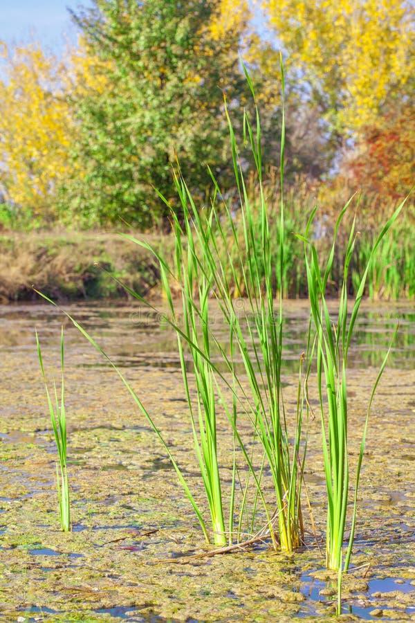 Grünes Schilf im Sumpf stockbilder