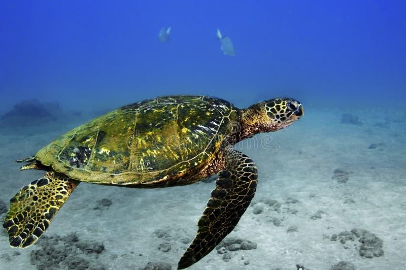 Grünes Seeschildkröte stockfotografie
