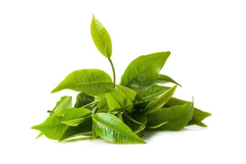 Grünes Teeblatt lokalisiert auf weißem Hintergrund stockfoto