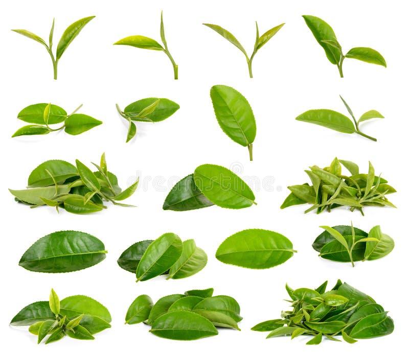 Grünes Teeblatt lokalisiert auf weißem Hintergrund stockfotografie