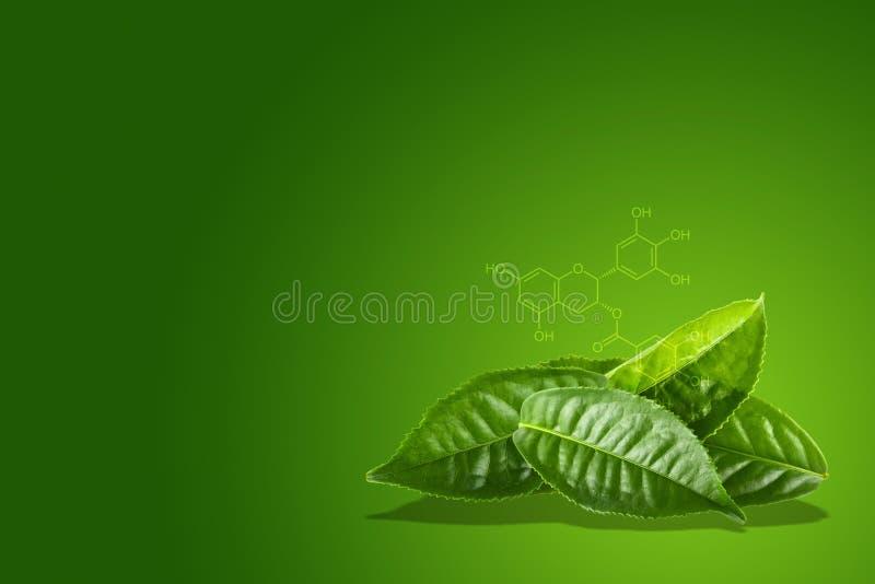 Grünes Teeblatt mit der chemischen Formel von EGCG lizenzfreie stockbilder