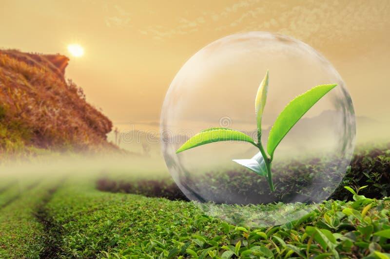 Grünes Teeblatt organisch in der Blase auf schöner Landschaft und stockbild