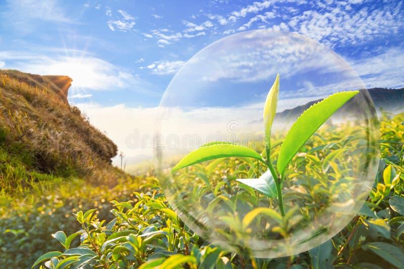 Grünes Teeblatt organisch in der Blase auf schöner Landschaft und stockbilder