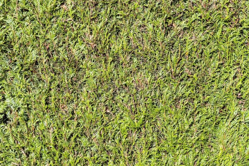 Grünes thujahecke, Symbolfoto für Privatleben stockfotos