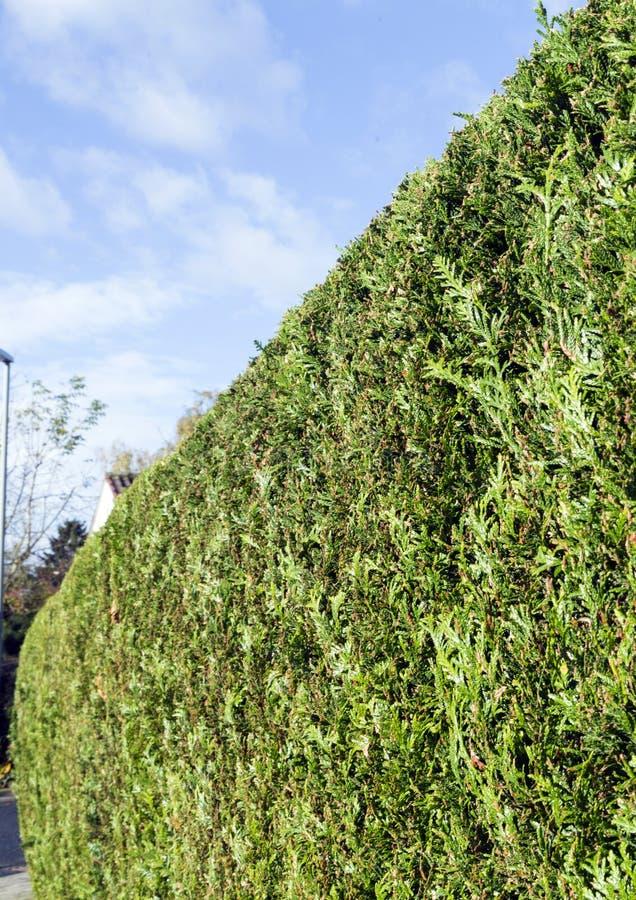 Grünes thujahecke, Symbolfoto für Privatleben stockbilder