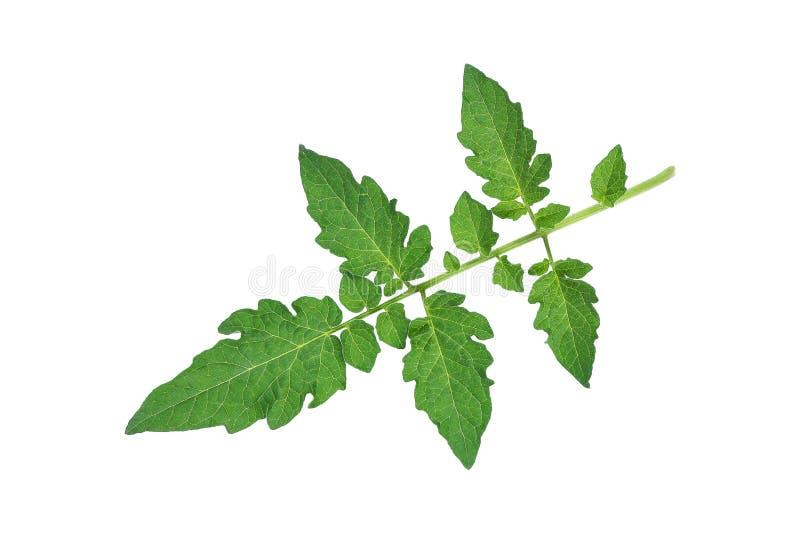 grünes Tomatenblatt lokalisiert auf Weiß stockfoto