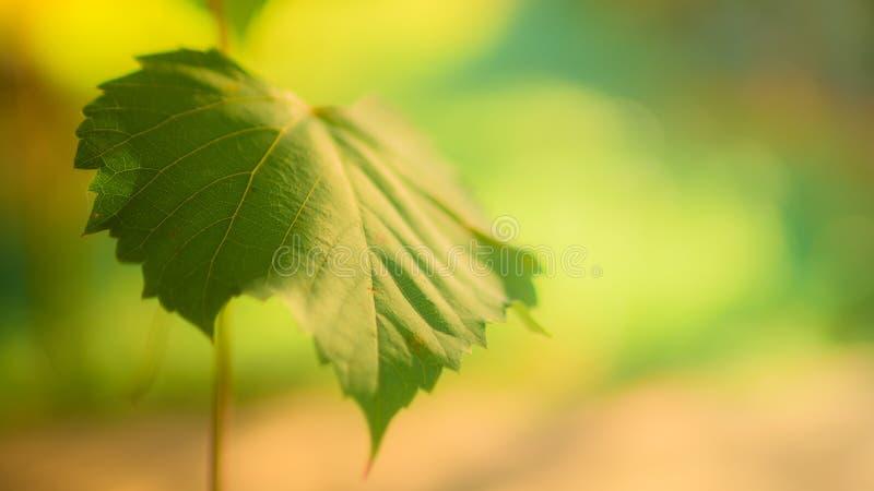 Grünes Traubenblatt auf der Niederlassung auf unscharfem natürlichem Hintergrund lizenzfreies stockfoto