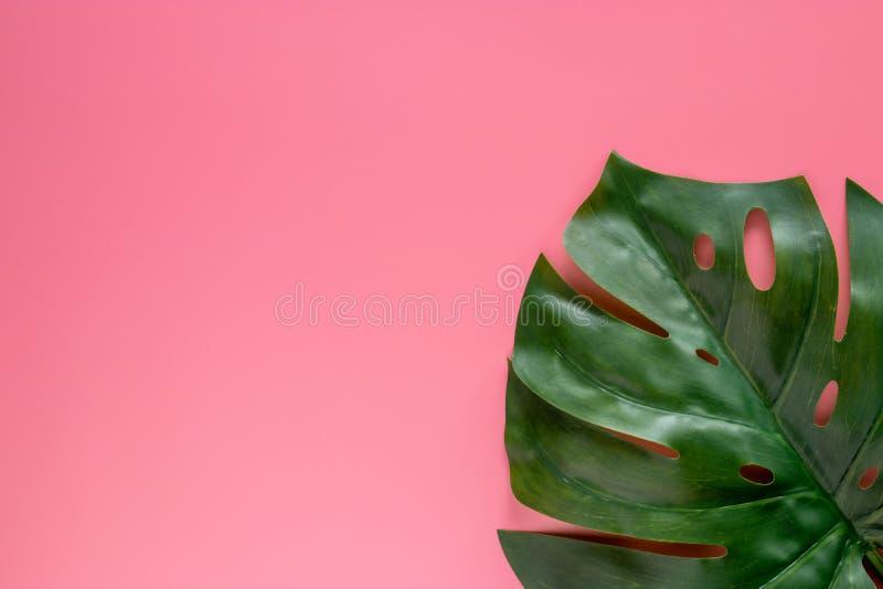Grünes tropisches Blätter monstera auf rosa Hintergrund mit Kopienraum Flache Lage, Draufsicht stockfotografie