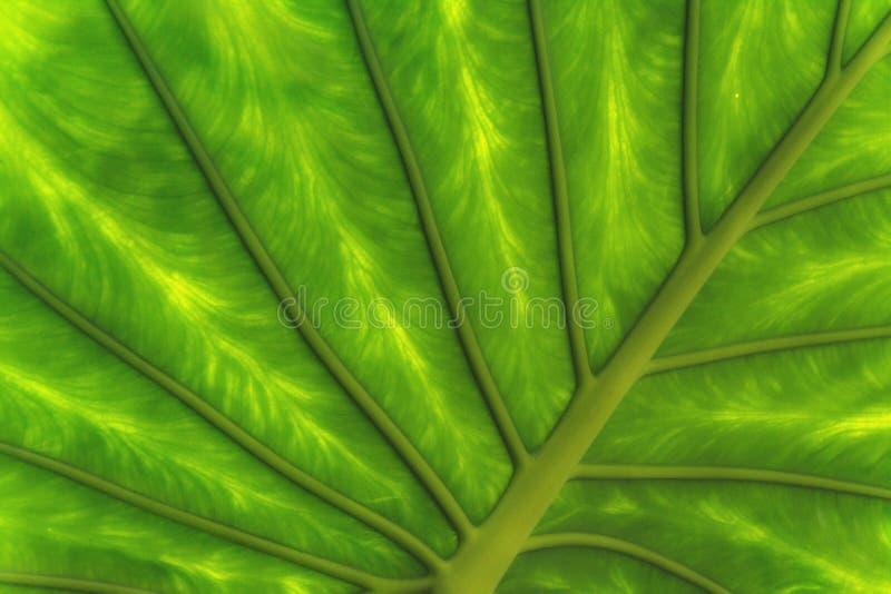 Grünes tropisches Blatt lizenzfreies stockfoto